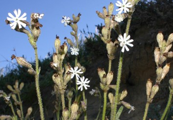 Selfing and nocturnal pollination in sympatric Silene
