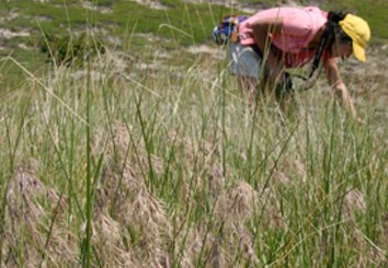 Coauthor Shuangxou Long conducts coastal dune community sampling near Wellfleet, MA with mature Bromus tectorum inflorescences in the foreground. (Photo credit: Alden Griffith)