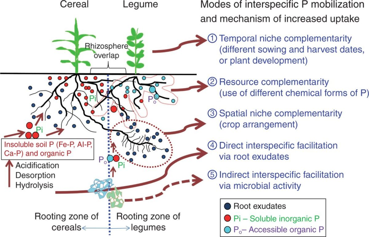 Crop acquisition of phosphorus, iron and zinc in intercropping (Review)