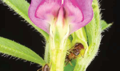 Ant-Plant Mutualism - Lasius emarginatus feeding on extrafloral nectar secreted by Vicia sativa. (pictures by D. Giannetti and D.A. Grasso, Myrmecology Lab, University of Parma)