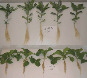 Influence of low calcium availability on cadmium uptake and translocation in a fast-growing shrub and a metal-accumulating herb