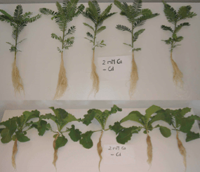 Sesbania sesban (top) and Brassica juncea (bottom) after growth in a full-nutrient medium without cadmium addition.  (Photo credit: Franziska Eller)
