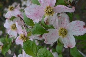 Flowers for My Girl[Wild Pink Dogwood
