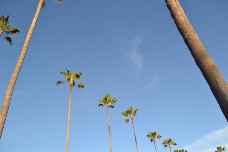 palm trees in laguna beach