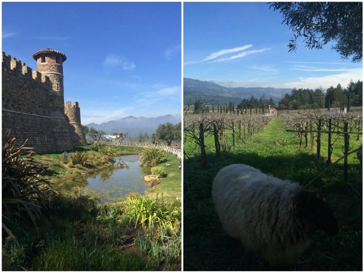 sheep at castello di amorosa