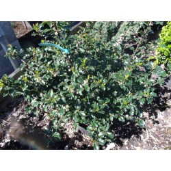 Small Crop Of Blue Prince Holly