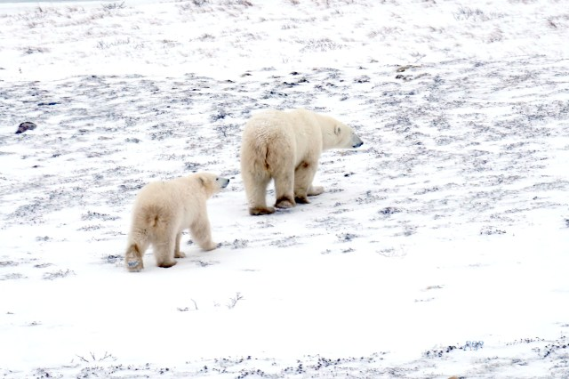 Bear cub following mom polar bear in Churchill, Manitoba