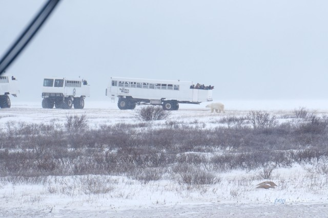 Tundra buggies in Churchill, Manitoba