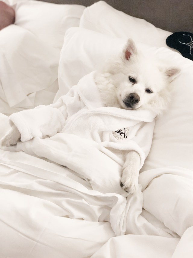 Dog in Fairmont bed wearing Fairmont robe