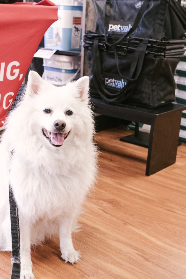 American Eskimo dog shopping at Pet Value