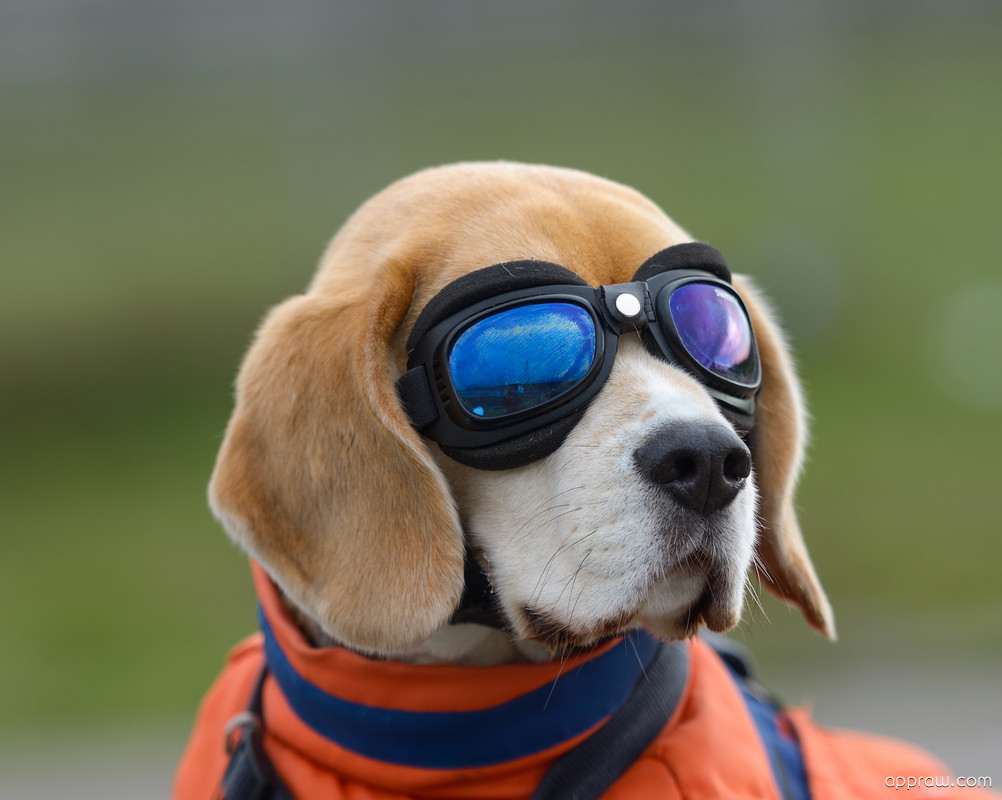 Cute Live Wallpapers For Android Apk Funny Dog Wearing Goggles Wallpaper Download Dog Hd