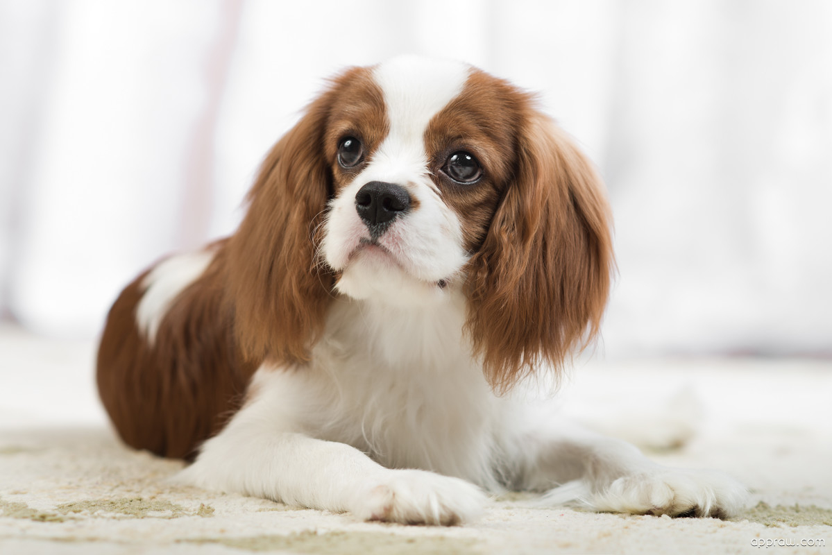 Hd Live Wallpapers For Iphone 7 Cavalier King Charles Spaniel Dog Wallpaper Download