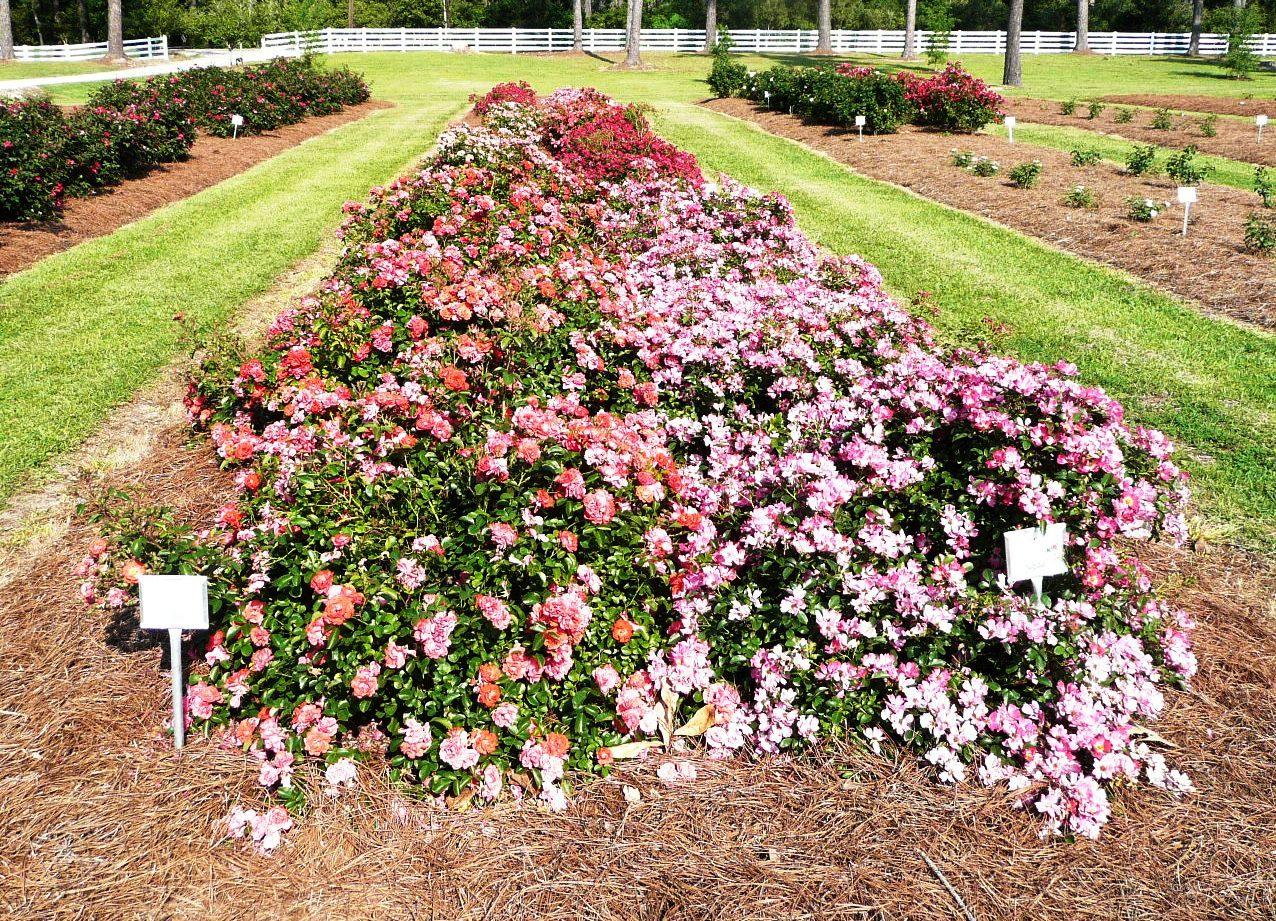 Fullsize Of Ground Cover Roses