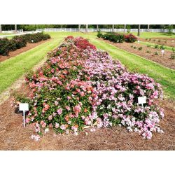 Ritzy Drift Roses Drift Roses Offer New Landscape Options Lsu Agcenter Ground Cover Roses Red Ground Cover Roses Home Depot