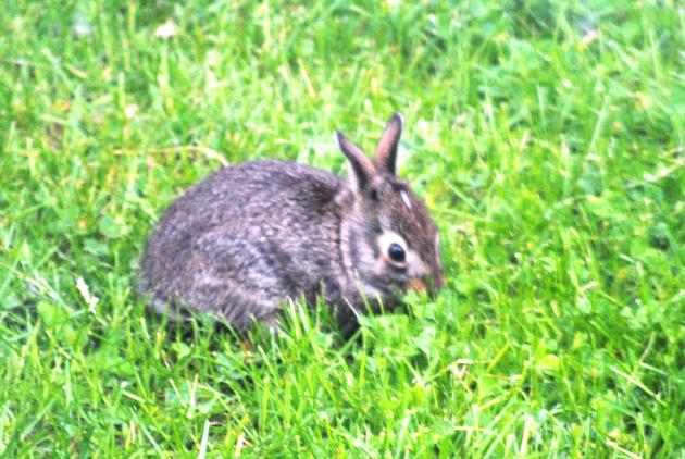 Building a better rabbit fence - StarTribune