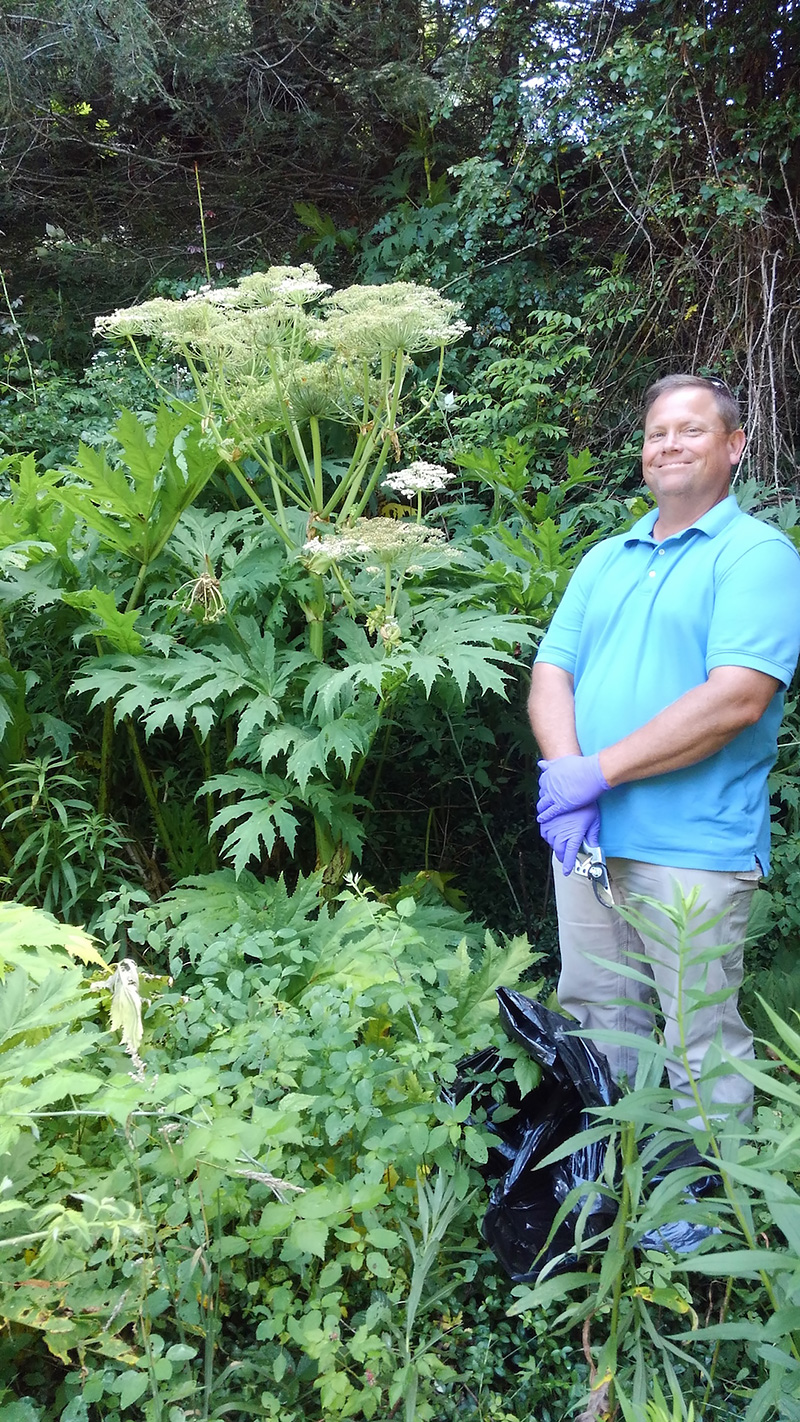 Giant Hog Weed Giant Hogweed Sprouting Up In Appalachia > Appalachian Voices