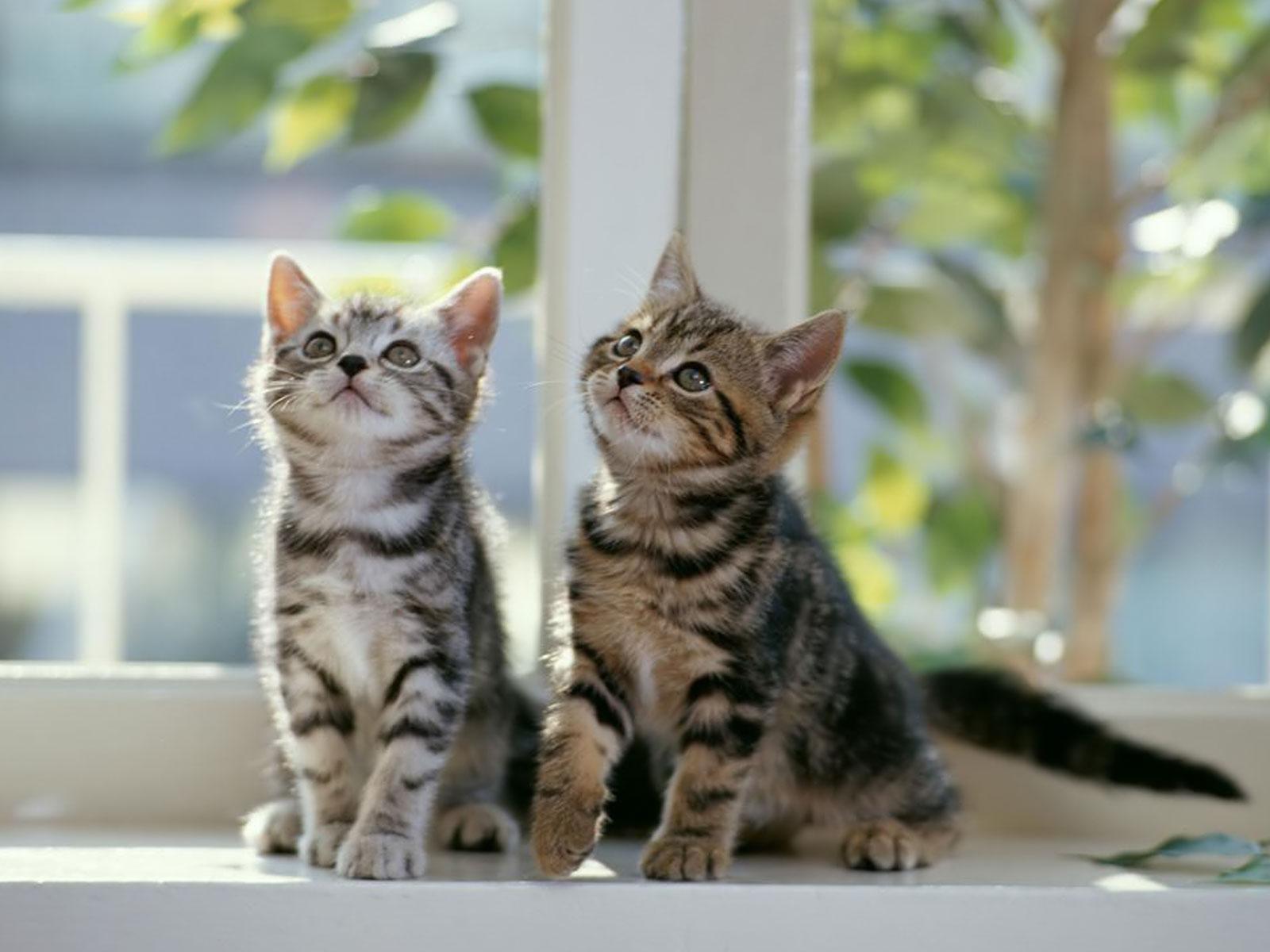 Image Gallery Ocelot Kittens For Sale
