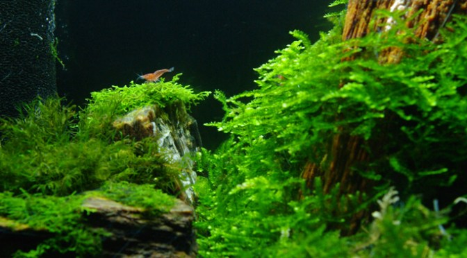 The Fluval Edge Experience – Part II: Adventures with Moss