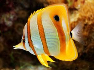 Butterflyfish  (Chaetodontidae)