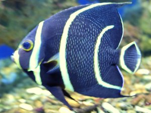 A healthy gray angelfish, Pomacanthus arcuatus, is pictured here