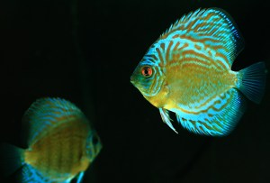 Some aquarists limit their fishkeeping to certain kinds of fish like discus fish