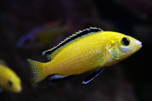 Do you need to add salt to an aquarium housing this male Labidochromis caeruleus? It depends on your tap water.