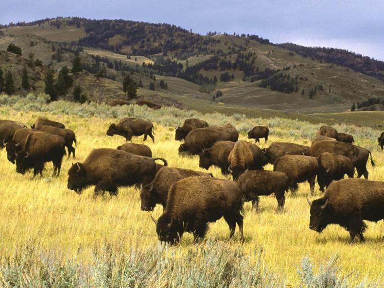 yellowstone-national-park-animal