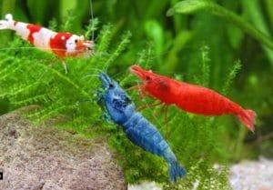 Freshwater Aquarium Shrimp The 10 Best Shrimps For Aquarium