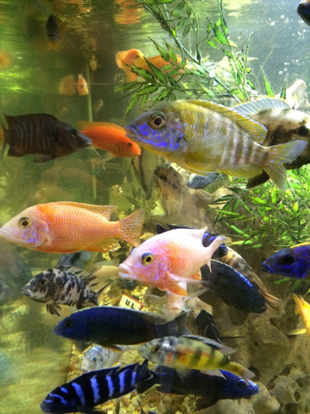 African Cichlids thrive in a tank serviced by Aquarium Guy LLC