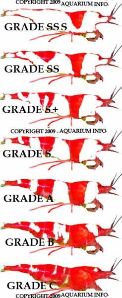 Crystal Red Shrimp - a guide to the rare breed of aquarium shrimp