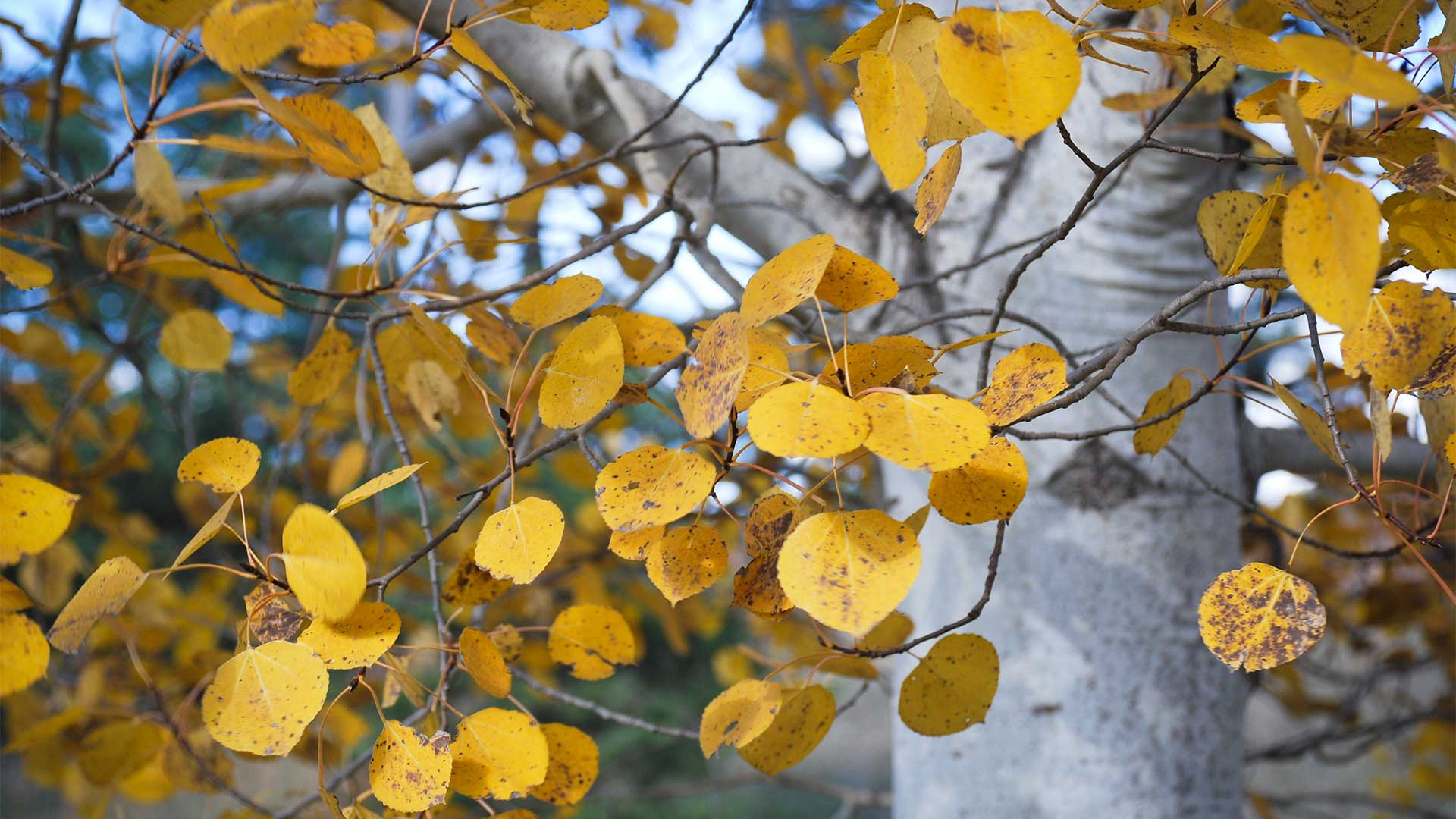 Birch Tree Fall Wallpaper Close Up The Fastest Fast Growing Trees Arbor Day Blog