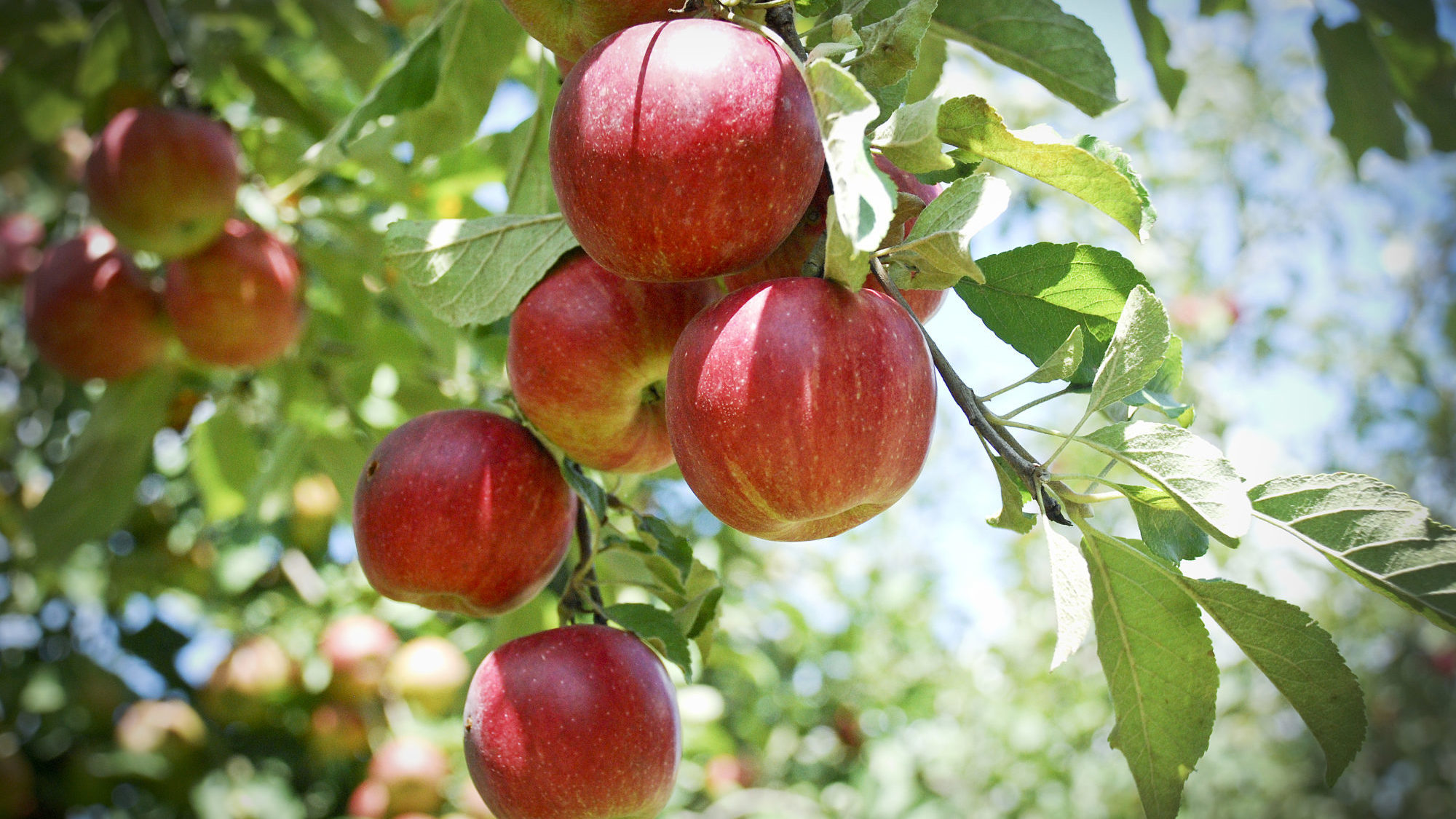 Fall Harvest Wallpaper Top 5 Apple Trees Sold Through The Arbor Day Tree Nursery