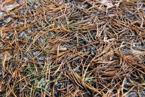 Medium Of Pine Needle Mulch
