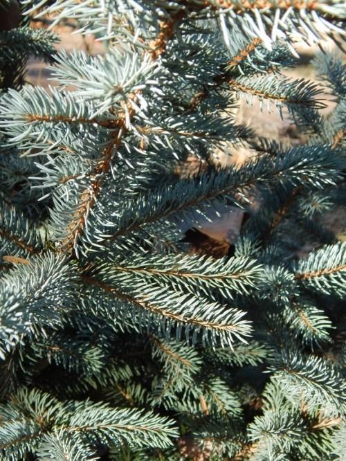 Medium Of Fat Albert Blue Spruce