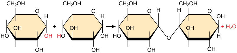 Synthesis of Biological Macromolecules - synthesis reaction