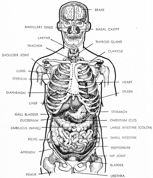 diagram of bones in upper torso