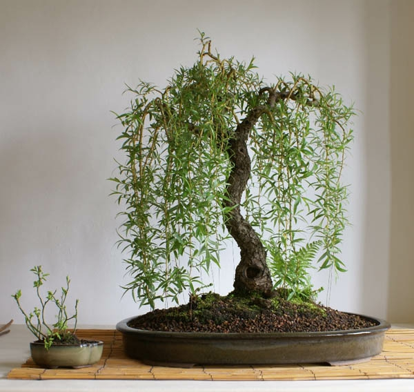 Salon Miniature Un Arbre Bonsai - La Décoration Par Excellence Pour L