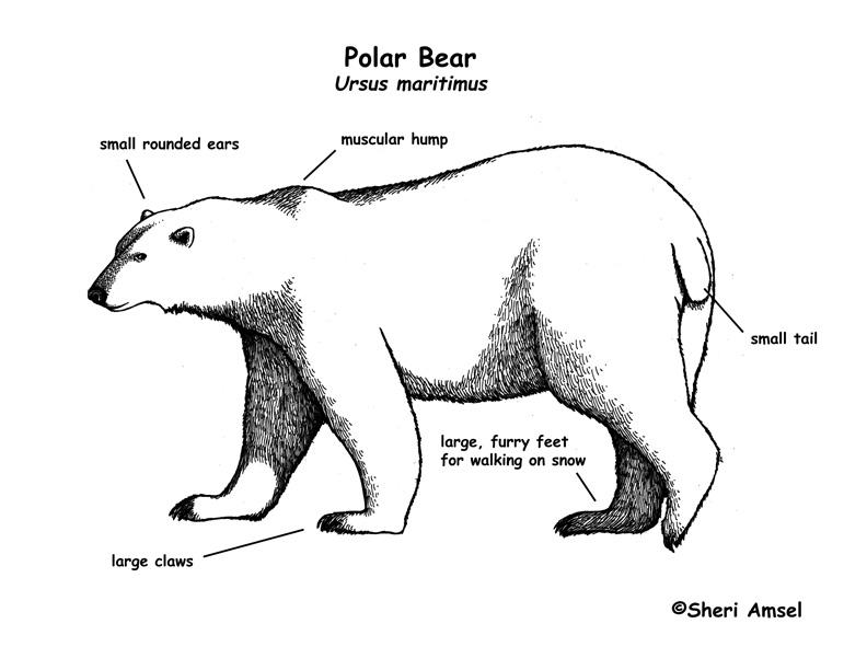 Diagram Of A Bear Wiring Diagram