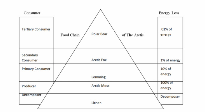 Food Chain of the Arctic - The Arctic Fox