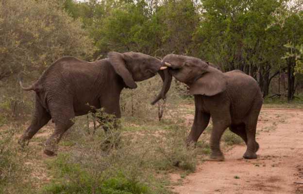 elephant-fight