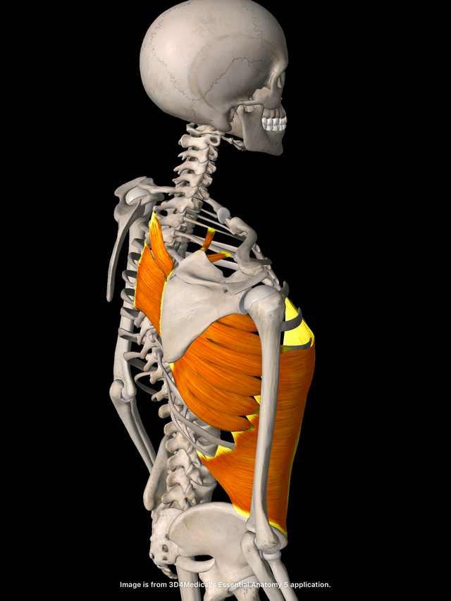 腹筋と肩甲骨