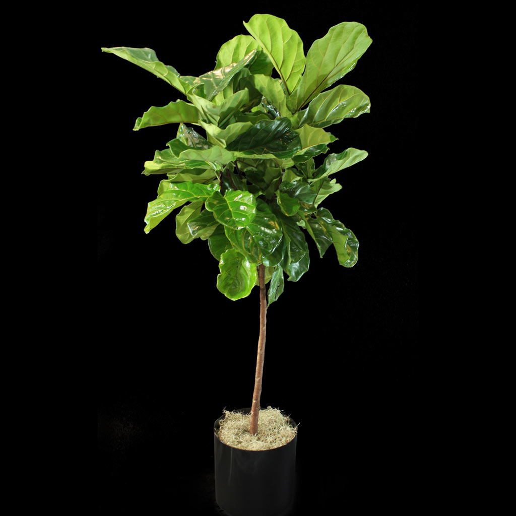 Fig Leaf Plant Fiddle Leaf Fig Plant Ariston Flowers And Boutique