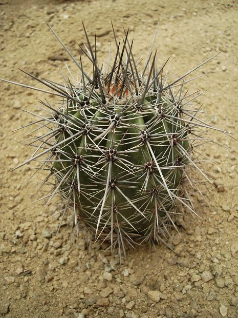 Ea Shop Carnegiea Gigantea (small) | Arizona Cactus Sales