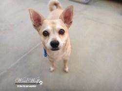 Small Of Chihuahua Corgi Mix