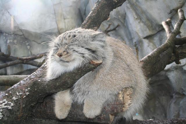 manul gato mas antiguo vivo 8