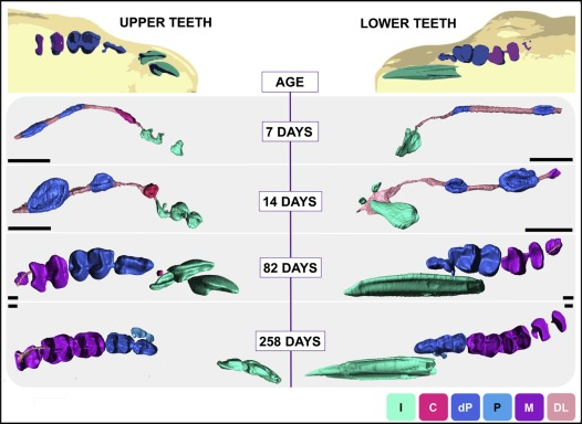 Three-dimensional mammalian tooth development using diceCT