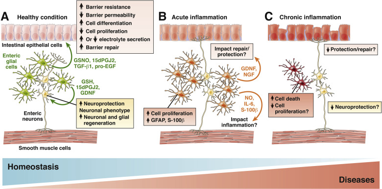 Enteric Glial Cells Recent Developments and Future Directions
