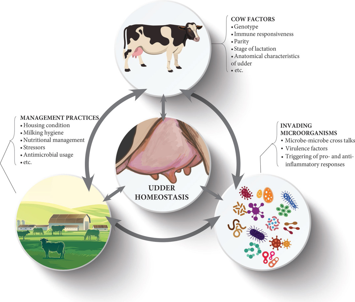 Invited Review Microbiota Of The Bovine Udder Contributing Factors And Potential Implications For Udder Health And Mastitis Susceptibility Sciencedirect