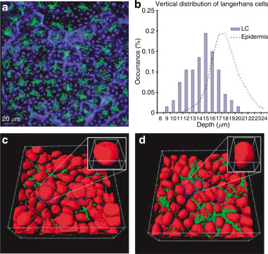 Multiphoton High-Resolution 3D Imaging of Langerhans Cells and - Keratinocytes