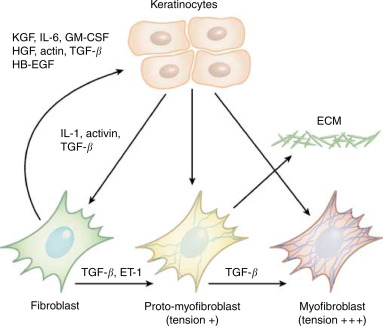 Keratinocyte\u2013Fibroblast Interactions in Wound Healing - ScienceDirect